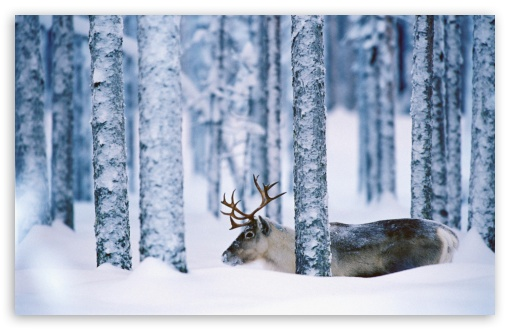 Reindeer Svansele Vsterbotten Sweden HD wallpaper for Wide 16:10 5:3 Widescreen WHXGA WQXGA WUXGA WXGA WGA ; HD 16:9 High Definition WQHD QWXGA 1080p 900p 720p QHD nHD ; Standard 4:3 5:4 3:2 Fullscreen UXGA XGA SVGA QSXGA SXGA DVGA HVGA HQVGA devices ( Apple PowerBook G4 iPhone 4 3G 3GS iPod Touch ) ; Tablet 1:1 ; iPad 1/2/Mini ; Mobile 4:3 5:3 3:2 16:9 5:4 - UXGA XGA SVGA WGA DVGA HVGA HQVGA devices ( Apple PowerBook G4 iPhone 4 3G 3GS iPod Touch ) WQHD QWXGA 1080p 900p 720p QHD nHD QSXGA SXGA ;