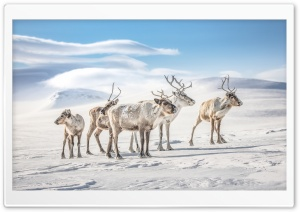 Reindeers Ultra HD Wallpaper for 4K UHD Widescreen desktop, tablet & smartphone