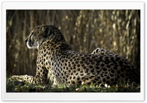 Resting Cheetah HD Wide Wallpaper for 4K UHD Widescreen desktop & smartphone