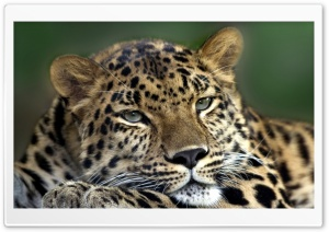Resting Leopard HD Wide Wallpaper for 4K UHD Widescreen desktop & smartphone