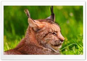 Resting Lynx HD Wide Wallpaper for Widescreen