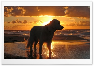 Retriever In The Sunset HD Wide Wallpaper for Widescreen