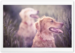 Retrievers On A Field HD Wide Wallpaper for 4K UHD Widescreen desktop & smartphone