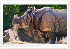 Rhino Eating Grass HD Wide Wallpaper for Widescreen