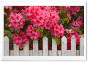 Rhododendron And Fence Reedsport Oregon HD Wide Wallpaper for 4K UHD Widescreen desktop & smartphone
