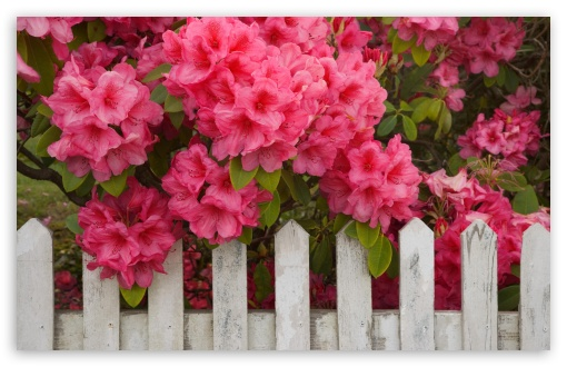 Rhododendron And Fence Reedsport Oregon HD wallpaper for Wide 16:10 5:3 Widescreen WHXGA WQXGA WUXGA WXGA WGA ; HD 16:9 High Definition WQHD QWXGA 1080p 900p 720p QHD nHD ; Standard 4:3 5:4 3:2 Fullscreen UXGA XGA SVGA QSXGA SXGA DVGA HVGA HQVGA devices ( Apple PowerBook G4 iPhone 4 3G 3GS iPod Touch ) ; Tablet 1:1 ; iPad 1/2/Mini ; Mobile 4:3 5:3 3:2 16:9 5:4 - UXGA XGA SVGA WGA DVGA HVGA HQVGA devices ( Apple PowerBook G4 iPhone 4 3G 3GS iPod Touch ) WQHD QWXGA 1080p 900p 720p QHD nHD QSXGA SXGA ;