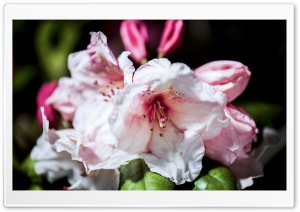 Rhododendron Flowers Macro HD Wide Wallpaper for Widescreen