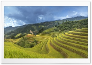 Rice Crop in Vietnam Ultra HD Wallpaper for 4K UHD Widescreen desktop, tablet & smartphone