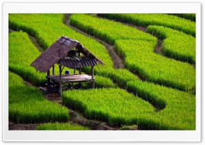 Rice Field Landscape HD Wide Wallpaper for Widescreen
