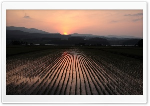 Rice Field Nature Sunset Ultra HD Wallpaper for 4K UHD Widescreen desktop, tablet & smartphone