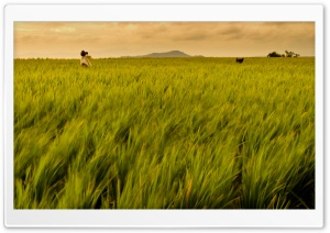 Rice Field Philippines HD Wide Wallpaper for 4K UHD Widescreen desktop & smartphone