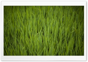 Rice Fields HD Wide Wallpaper for Widescreen
