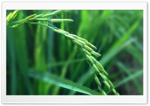 Rice Plant HD Wide Wallpaper for Widescreen