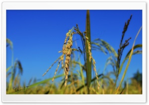 Rice Spikes - Blue Sky HD Wide Wallpaper for Widescreen