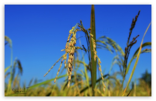 Rice Spikes - Blue Sky ❤ 4K UHD Wallpaper for Wide 16:10 5:3 Widescreen WHXGA WQXGA WUXGA WXGA WGA ; 4K UHD 16:9 Ultra High Definition 2160p 1440p 1080p 900p 720p ; UHD 16:9 2160p 1440p 1080p 900p 720p ; Standard 4:3 5:4 3:2 Fullscreen UXGA XGA SVGA QSXGA SXGA DVGA HVGA HQVGA ( Apple PowerBook G4 iPhone 4 3G 3GS iPod Touch ) ; Tablet 1:1 ; iPad 1/2/Mini ; Mobile 4:3 5:3 3:2 16:9 5:4 - UXGA XGA SVGA WGA DVGA HVGA HQVGA ( Apple PowerBook G4 iPhone 4 3G 3GS iPod Touch ) 2160p 1440p 1080p 900p 720p QSXGA SXGA ;