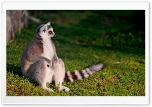 Ring-tailed Lemur HD Wide Wallpaper for Widescreen