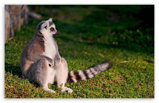 Ring-tailed Lemur HD wallpaper for Standard 4:3 5:4 Fullscreen UXGA XGA SVGA QSXGA SXGA ; Wide 16:10 5:3 Widescreen WHXGA WQXGA WUXGA WXGA WGA ; HD 16:9 High Definition WQHD QWXGA 1080p 900p 720p QHD nHD ; Other 3:2 DVGA HVGA HQVGA devices ( Apple PowerBook G4 iPhone 4 3G 3GS iPod Touch ) ; Mobile VGA WVGA iPhone iPad PSP Phone - VGA QVGA Smartphone ( PocketPC GPS iPod Zune BlackBerry HTC Samsung LG Nokia Eten Asus ) WVGA WQVGA Smartphone ( HTC Samsung Sony Ericsson LG Vertu MIO ) HVGA Smartphone ( Apple iPhone iPod BlackBerry HTC Samsung Nokia ) Sony PSP Zune HD Zen ; Tablet 2 Android ; Dual 5:4 16:10 5:3 16:9 QSXGA SXGA WHXGA WQXGA WUXGA WXGA WGA WQHD QWXGA 1080p 900p 720p QHD nHD ;