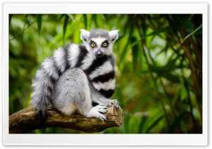 Ring Tailed Lemur HD Wide Wallpaper for 4K UHD Widescreen desktop & smartphone