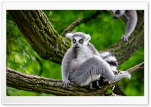 Ring Tailed Lemur in Tree HD Wide Wallpaper for 4K UHD Widescreen desktop & smartphone
