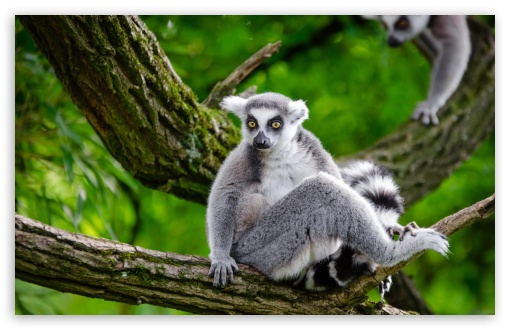 Ring Tailed Lemur in Tree ❤ 4K UHD Wallpaper for Wide 16:10 5:3 Widescreen WHXGA WQXGA WUXGA WXGA WGA ; UltraWide 21:9 24:10 ; 4K UHD 16:9 Ultra High Definition 2160p 1440p 1080p 900p 720p ; UHD 16:9 2160p 1440p 1080p 900p 720p ; Standard 4:3 5:4 3:2 Fullscreen UXGA XGA SVGA QSXGA SXGA DVGA HVGA HQVGA ( Apple PowerBook G4 iPhone 4 3G 3GS iPod Touch ) ; Smartphone 16:9 3:2 5:3 2160p 1440p 1080p 900p 720p DVGA HVGA HQVGA ( Apple PowerBook G4 iPhone 4 3G 3GS iPod Touch ) WGA ; Tablet 1:1 ; iPad 1/2/Mini ; Mobile 4:3 5:3 3:2 16:9 5:4 - UXGA XGA SVGA WGA DVGA HVGA HQVGA ( Apple PowerBook G4 iPhone 4 3G 3GS iPod Touch ) 2160p 1440p 1080p 900p 720p QSXGA SXGA ; Dual 5:4 QSXGA SXGA ;