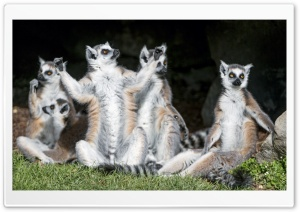 Ring-tailed Lemurs Animals Sunbathing Ultra HD Wallpaper for 4K UHD Widescreen desktop, tablet & smartphone