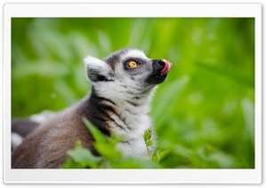 Ring Tailed Lemurs Tongue Out HD Wide Wallpaper for 4K UHD Widescreen desktop & smartphone