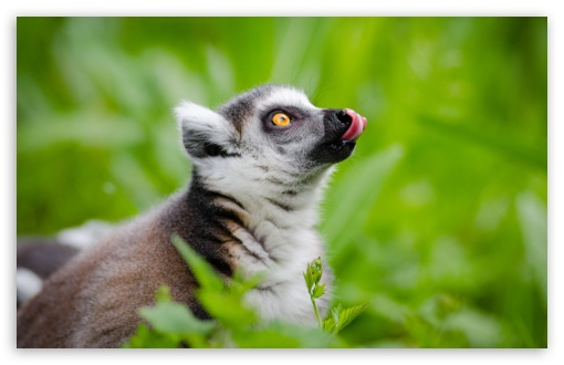 Ring Tailed Lemurs Tongue Out ❤ 4K UHD Wallpaper for Wide 16:10 5:3 Widescreen WHXGA WQXGA WUXGA WXGA WGA ; 4K UHD 16:9 Ultra High Definition 2160p 1440p 1080p 900p 720p ; UHD 16:9 2160p 1440p 1080p 900p 720p ; Standard 4:3 5:4 3:2 Fullscreen UXGA XGA SVGA QSXGA SXGA DVGA HVGA HQVGA ( Apple PowerBook G4 iPhone 4 3G 3GS iPod Touch ) ; Smartphone 16:9 3:2 5:3 2160p 1440p 1080p 900p 720p DVGA HVGA HQVGA ( Apple PowerBook G4 iPhone 4 3G 3GS iPod Touch ) WGA ; Tablet 1:1 ; iPad 1/2/Mini ; Mobile 4:3 5:3 3:2 16:9 5:4 - UXGA XGA SVGA WGA DVGA HVGA HQVGA ( Apple PowerBook G4 iPhone 4 3G 3GS iPod Touch ) 2160p 1440p 1080p 900p 720p QSXGA SXGA ;
