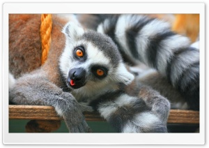 Ring Tailed Lemurs Tropical Wings United Kingdom HD Wide Wallpaper for Widescreen