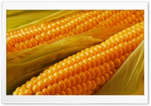 Ripe Corn HD Wide Wallpaper for Widescreen