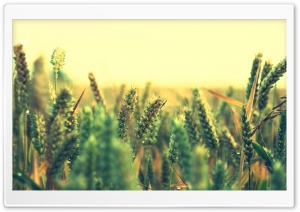 Ripe Wheat HD Wide Wallpaper for Widescreen