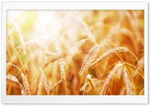 Ripe Wheat Ears HD Wide Wallpaper for Widescreen