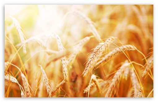 Ripe Wheat Ears HD wallpaper for Wide 16:10 5:3 Widescreen WHXGA WQXGA WUXGA WXGA WGA ; HD 16:9 High Definition WQHD QWXGA 1080p 900p 720p QHD nHD ; Standard 4:3 5:4 3:2 Fullscreen UXGA XGA SVGA QSXGA SXGA DVGA HVGA HQVGA devices ( Apple PowerBook G4 iPhone 4 3G 3GS iPod Touch ) ; Tablet 1:1 ; iPad 1/2/Mini ; Mobile 4:3 5:3 3:2 16:9 5:4 - UXGA XGA SVGA WGA DVGA HVGA HQVGA devices ( Apple PowerBook G4 iPhone 4 3G 3GS iPod Touch ) WQHD QWXGA 1080p 900p 720p QHD nHD QSXGA SXGA ; Dual 16:10 5:3 4:3 5:4 WHXGA WQXGA WUXGA WXGA WGA UXGA XGA SVGA QSXGA SXGA ;