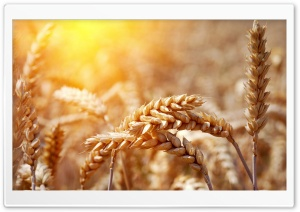 Ripe Wheat Ears Ultra HD Wallpaper for 4K UHD Widescreen desktop, tablet & smartphone