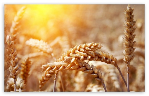 Ripe Wheat Ears HD wallpaper for Wide 16:10 5:3 Widescreen WHXGA WQXGA WUXGA WXGA WGA ; HD 16:9 High Definition WQHD QWXGA 1080p 900p 720p QHD nHD ; Standard 4:3 5:4 3:2 Fullscreen UXGA XGA SVGA QSXGA SXGA DVGA HVGA HQVGA devices ( Apple PowerBook G4 iPhone 4 3G 3GS iPod Touch ) ; Tablet 1:1 ; iPad 1/2/Mini ; Mobile 4:3 5:3 3:2 16:9 5:4 - UXGA XGA SVGA WGA DVGA HVGA HQVGA devices ( Apple PowerBook G4 iPhone 4 3G 3GS iPod Touch ) WQHD QWXGA 1080p 900p 720p QHD nHD QSXGA SXGA ;