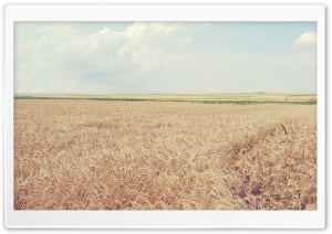 Ripe Wheat Field HD Wide Wallpaper for Widescreen