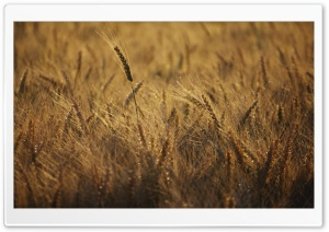 Ripe Wheat Field, Summer HD Wide Wallpaper for Widescreen