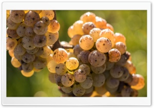 Ripe White Grape HD Wide Wallpaper for Widescreen