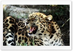 Roaring Leopard HD Wide Wallpaper for Widescreen