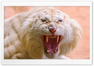 Roaring White Tiger HD Wide Wallpaper for 4K UHD Widescreen desktop & smartphone