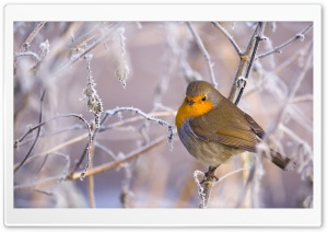 Robin Bird, Winter HD Wide Wallpaper for Widescreen
