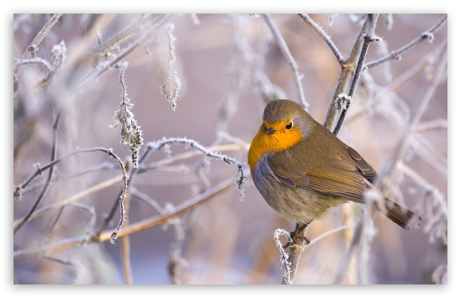 Robin Bird, Winter ❤ 4K UHD Wallpaper for Wide 16:10 5:3 Widescreen WHXGA WQXGA WUXGA WXGA WGA ; 4K UHD 16:9 Ultra High Definition 2160p 1440p 1080p 900p 720p ; Standard 4:3 5:4 3:2 Fullscreen UXGA XGA SVGA QSXGA SXGA DVGA HVGA HQVGA ( Apple PowerBook G4 iPhone 4 3G 3GS iPod Touch ) ; Tablet 1:1 ; iPad 1/2/Mini ; Mobile 4:3 5:3 3:2 16:9 5:4 - UXGA XGA SVGA WGA DVGA HVGA HQVGA ( Apple PowerBook G4 iPhone 4 3G 3GS iPod Touch ) 2160p 1440p 1080p 900p 720p QSXGA SXGA ;