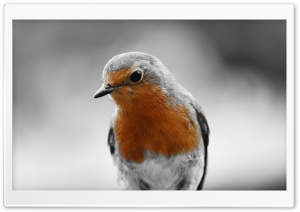 Robin Redbreast HD Wide Wallpaper for Widescreen