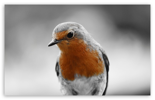Robin Redbreast HD wallpaper for Wide 16:10 5:3 Widescreen WHXGA WQXGA WUXGA WXGA WGA ; HD 16:9 High Definition WQHD QWXGA 1080p 900p 720p QHD nHD ; UHD 16:9 WQHD QWXGA 1080p 900p 720p QHD nHD ; Standard 4:3 5:4 3:2 Fullscreen UXGA XGA SVGA QSXGA SXGA DVGA HVGA HQVGA devices ( Apple PowerBook G4 iPhone 4 3G 3GS iPod Touch ) ; Tablet 1:1 ; iPad 1/2/Mini ; Mobile 4:3 5:3 3:2 16:9 5:4 - UXGA XGA SVGA WGA DVGA HVGA HQVGA devices ( Apple PowerBook G4 iPhone 4 3G 3GS iPod Touch ) WQHD QWXGA 1080p 900p 720p QHD nHD QSXGA SXGA ; Dual 16:10 5:3 16:9 4:3 5:4 WHXGA WQXGA WUXGA WXGA WGA WQHD QWXGA 1080p 900p 720p QHD nHD UXGA XGA SVGA QSXGA SXGA ;