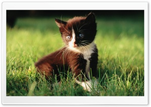 Romantic Kitten HD Wide Wallpaper for Widescreen