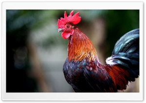 Rooster HD Wide Wallpaper for 4K UHD Widescreen desktop & smartphone