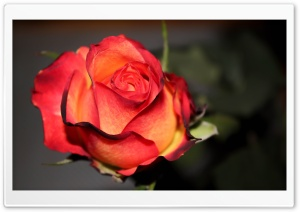 Rose HD Wide Wallpaper for Widescreen