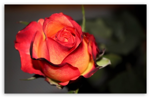 Rose ❤ 4K UHD Wallpaper for Wide 16:10 5:3 Widescreen WHXGA WQXGA WUXGA WXGA WGA ; 4K UHD 16:9 Ultra High Definition 2160p 1440p 1080p 900p 720p ; UHD 16:9 2160p 1440p 1080p 900p 720p ; Standard 4:3 5:4 3:2 Fullscreen UXGA XGA SVGA QSXGA SXGA DVGA HVGA HQVGA ( Apple PowerBook G4 iPhone 4 3G 3GS iPod Touch ) ; Tablet 1:1 ; iPad 1/2/Mini ; Mobile 4:3 5:3 3:2 16:9 5:4 - UXGA XGA SVGA WGA DVGA HVGA HQVGA ( Apple PowerBook G4 iPhone 4 3G 3GS iPod Touch ) 2160p 1440p 1080p 900p 720p QSXGA SXGA ;