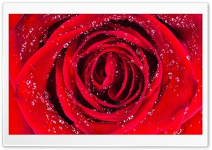 Rose Aesthetic Ultra HD Wallpaper for 4K UHD Widescreen desktop, tablet & smartphone
