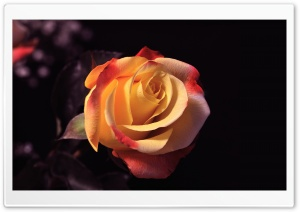 Rose Beauty HD Wide Wallpaper for Widescreen