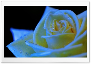 Rose Black Light HD Wide Wallpaper for Widescreen